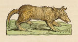 Armadillo image and description in volume 11, the New World, of Joan Blaeu's Atlas Maior
